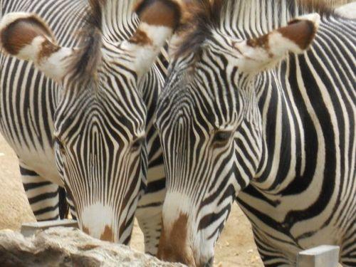 Zebra Shot